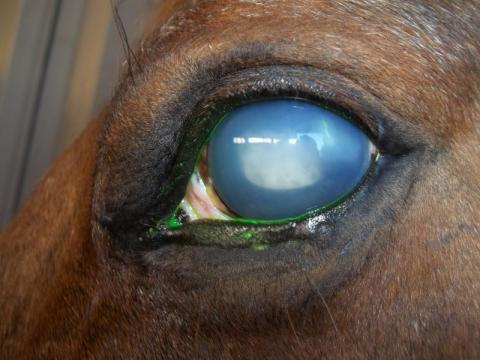 Horse's eye with equine recurrent uveitis
