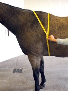 measuring girth of a horse