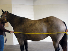 measuring body length of a horse